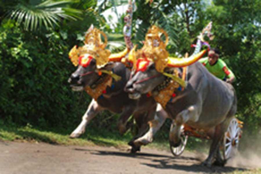 bull races, makepung, jembrana, bali