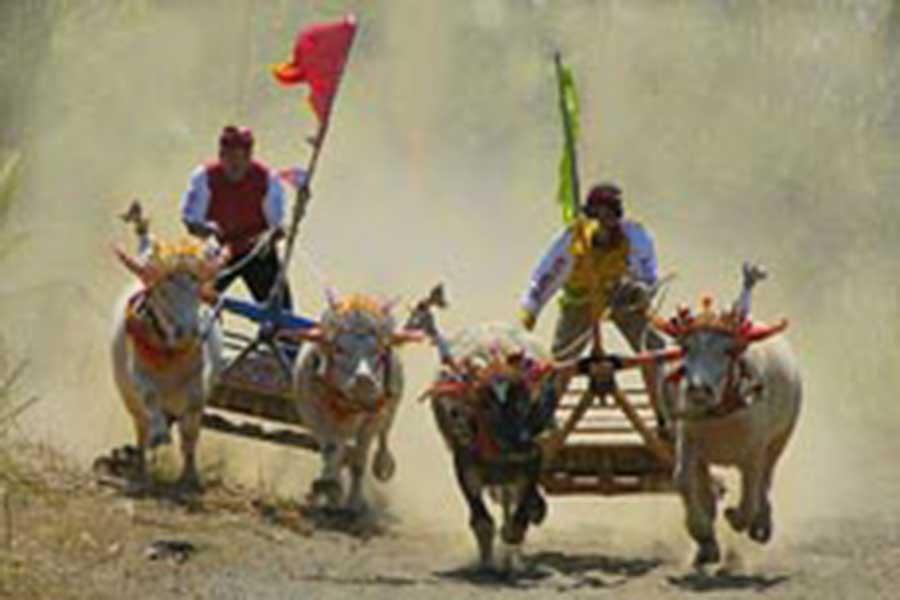 makepung, bull races, jembrana, negara