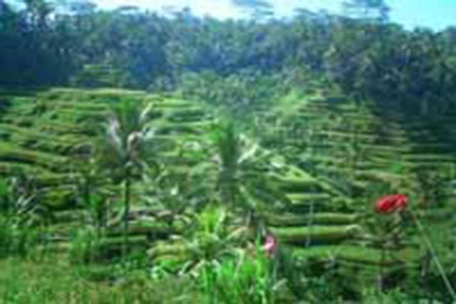 tegalalang, rice terrace, bali