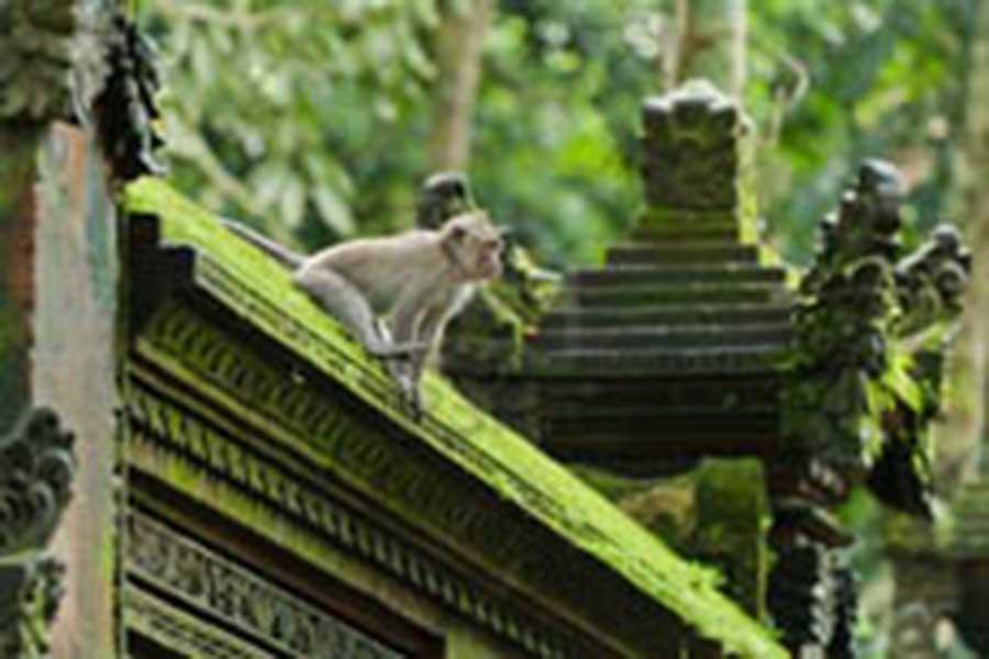 monkey at alas kedaton