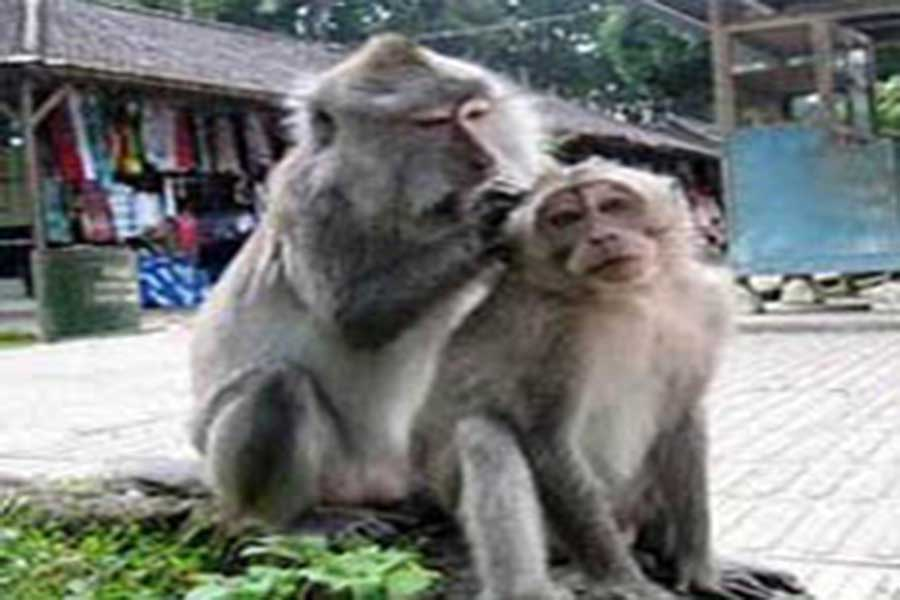 monkeys at alas kedaton bali old temple