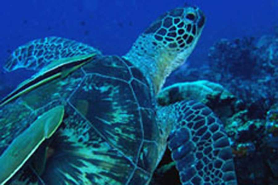 turtle, below water, reef cruise, bali hai