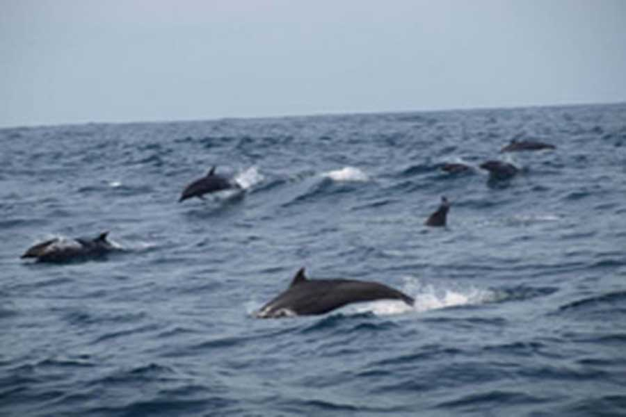 dolphin view, bali dolphin cruise, bali hai cruise