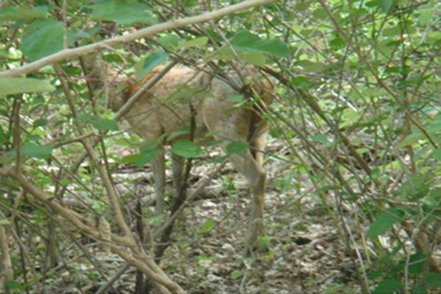menjangan, deer