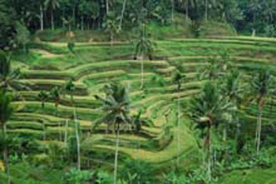 tegalalang rice terrace, rice terrace, sightseeing bali, visiting bali