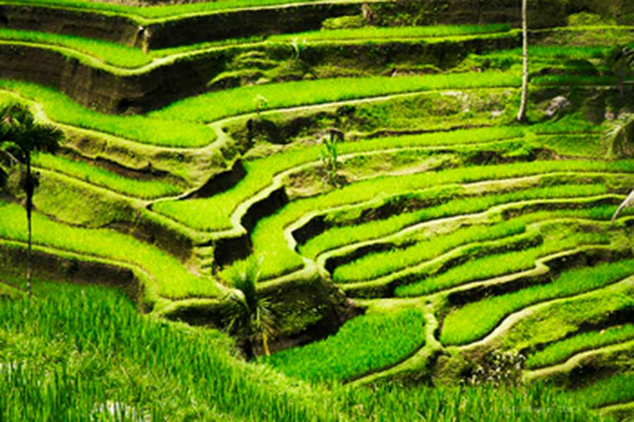 tegallalang, rice terrace