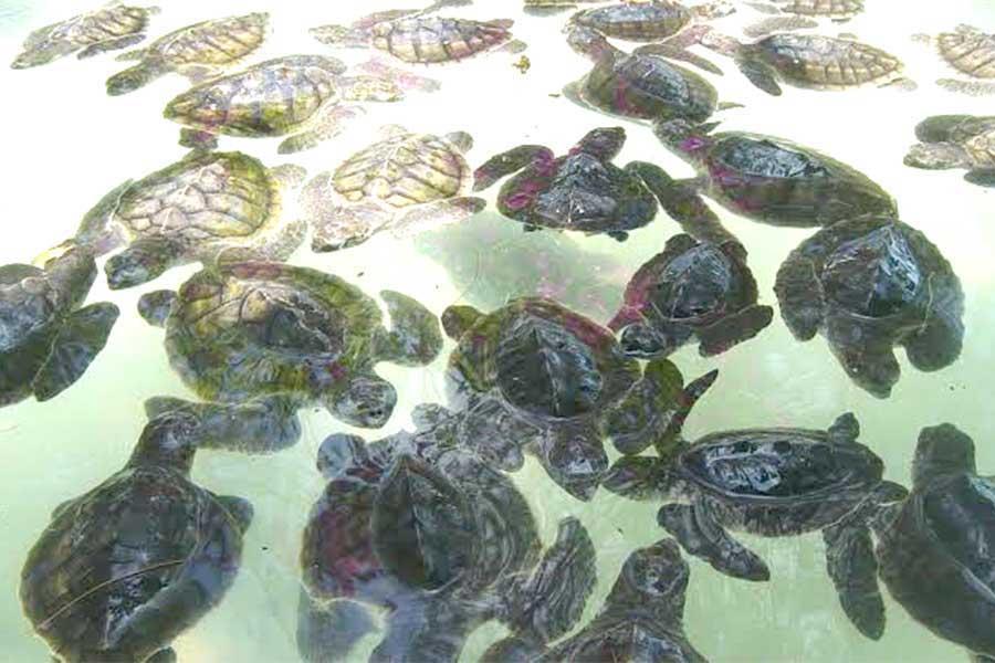 turtle island conservation tanjung benoa