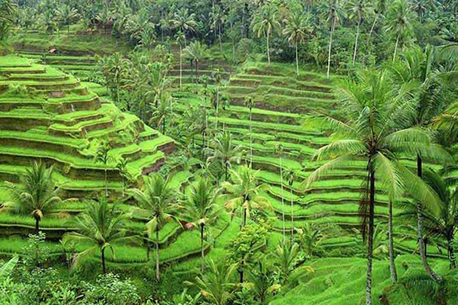 cekingan rice terrace bali