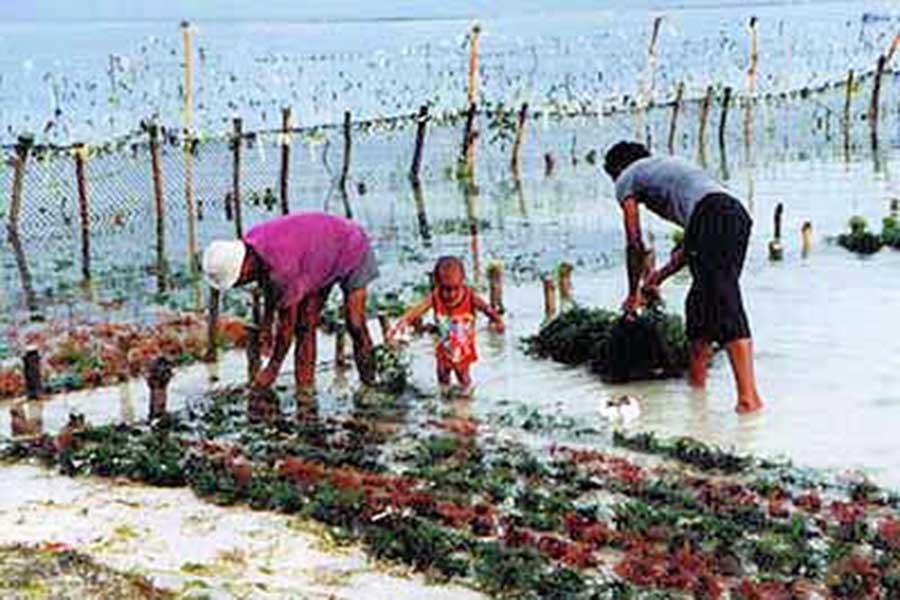 seaweed farmers in lembongan island