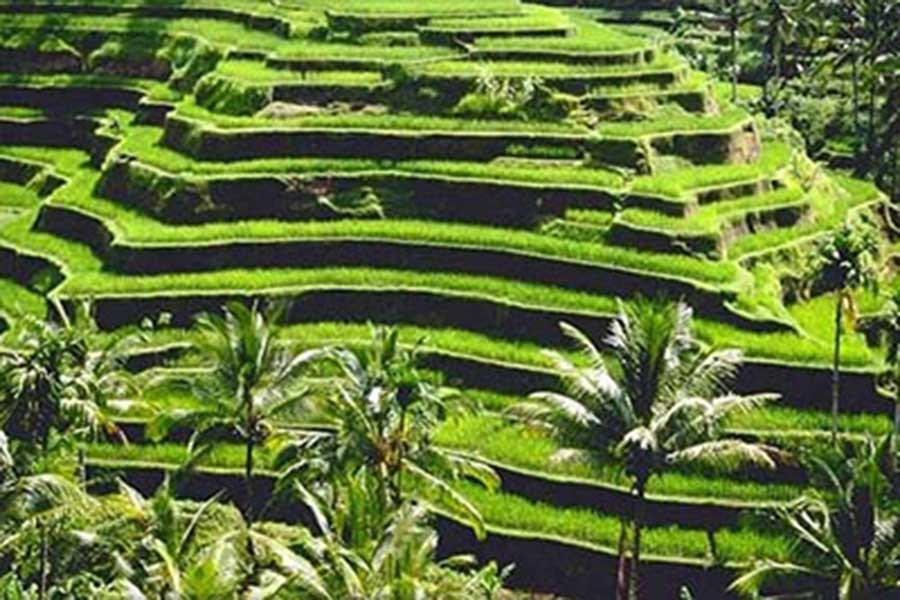honeymoon package bali, tegallalang rice terraces, tegallalang tour
