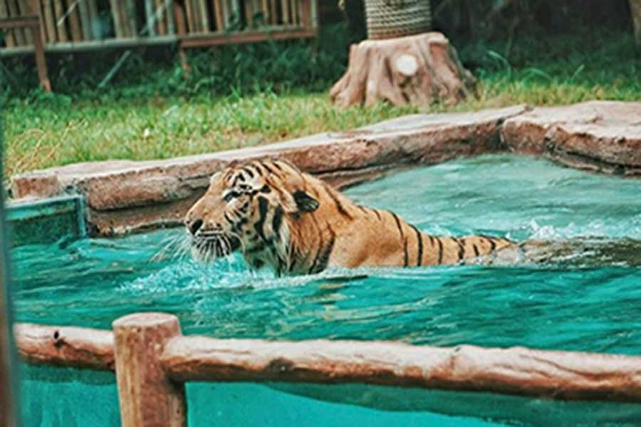 tiger, bali safari and marine park, leopard package